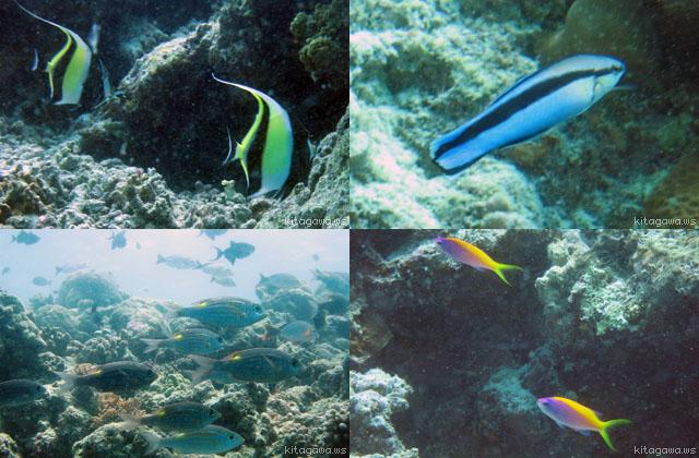 モルジブ 熱帯魚