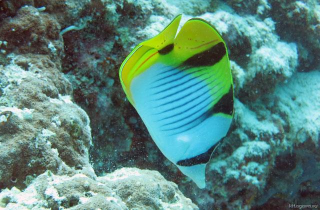サドルバックバタフライフィッシュ Saddleback Butterflyfish