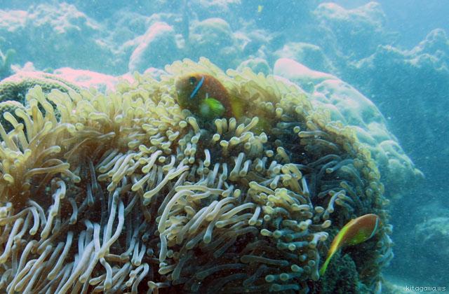 モルディブアネモネフィッシュ Black-footed Clownfish