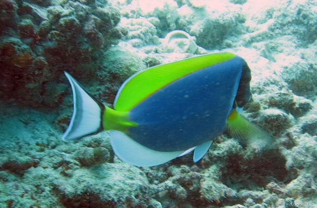 パウダーブルーサージオンフィッシュ Powderblue Surgeonfish