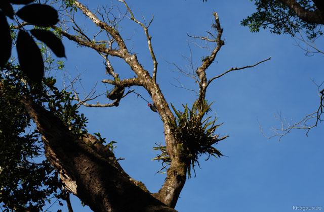 ズアカエボシゲラ Pale-billed Woodpecker