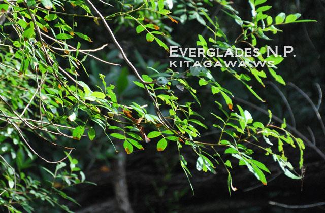 エバーグレーズ国立公園の画像 p1_8