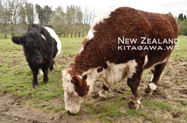 牛 ニュージーランド