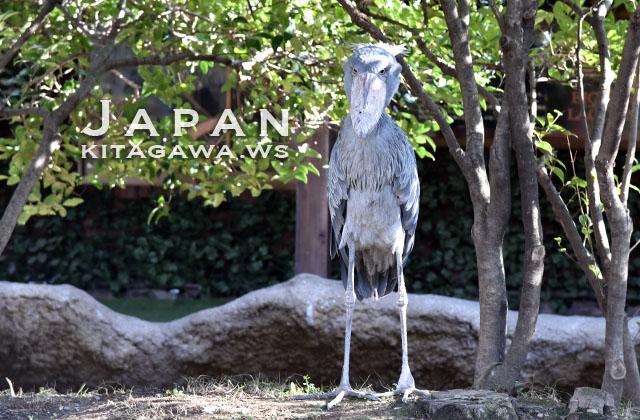 ハシビロコウ Shoebill Stork