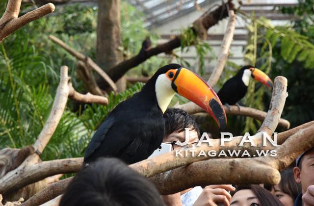 神戸どうぶつ王国のトゥーカン オニオオハシ Toco Toucan at Kobe Animal Kingdom