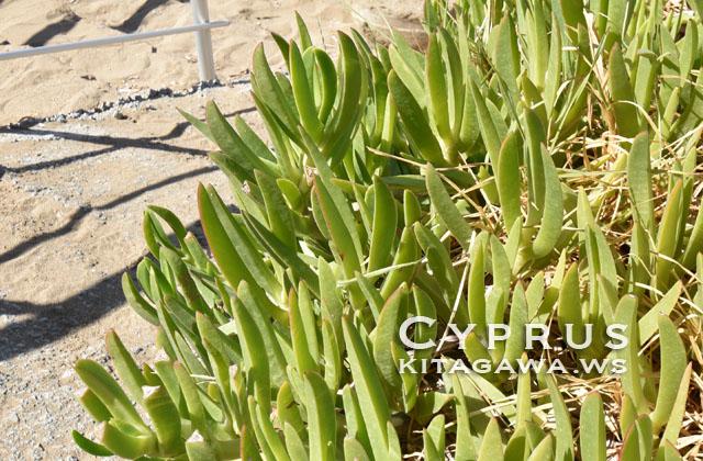地中海 多肉植物