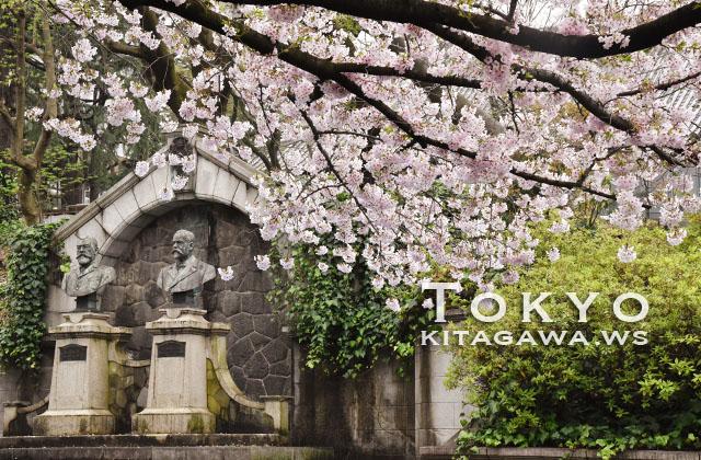 東京大学 桜