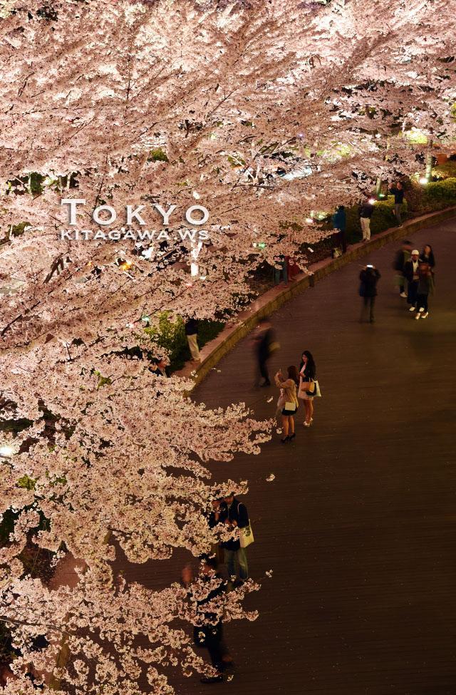 東京ミッドタウン 桜ライトアップ