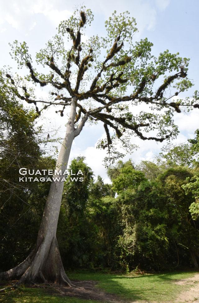 大セイバの木