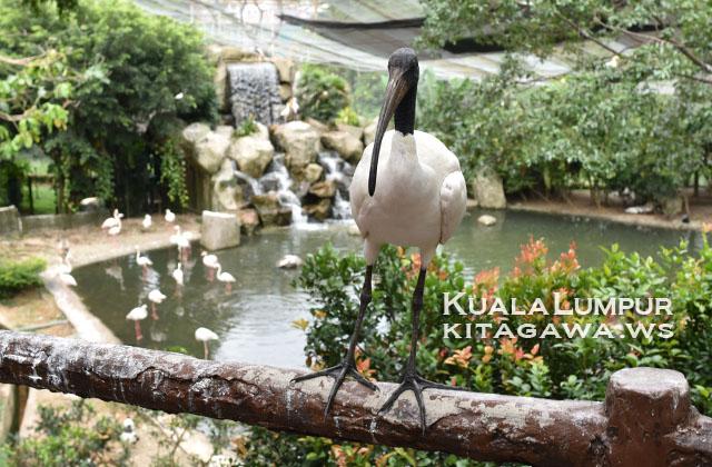 Sacred Ibis アフリカクロトキ