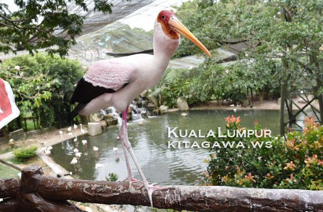 Yellow-Billed Stork アフリカトキコウ