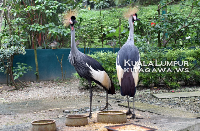 Grey Crowned Crane ホオジロカンムリヅル