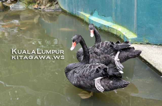 Black Swan コクチョウ