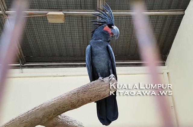 Palm Cockatoo ヤシオウム
