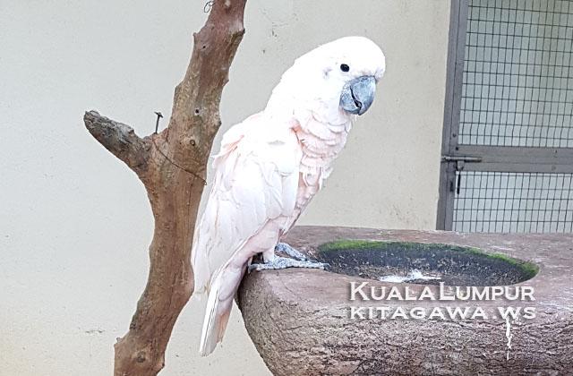 Moluccan Cockatoo オオバタン