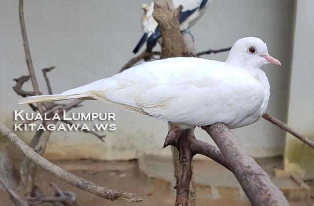 White Dove ジャバ