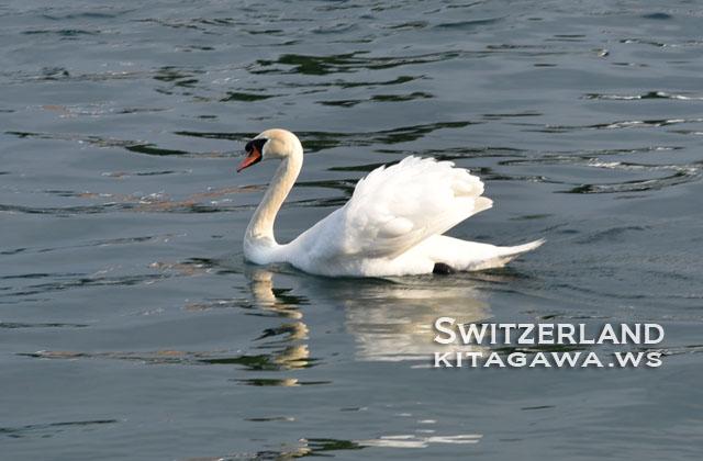 スイス 白鳥