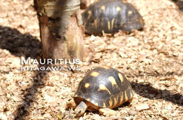 Radiata Tortoises