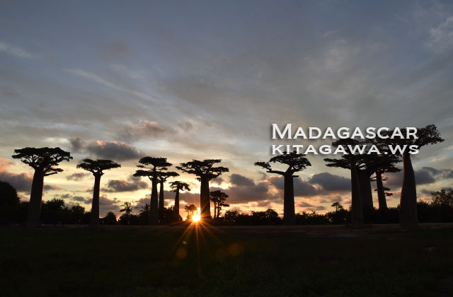 バオバブ街道 マダガスカル バオバブの並木道
