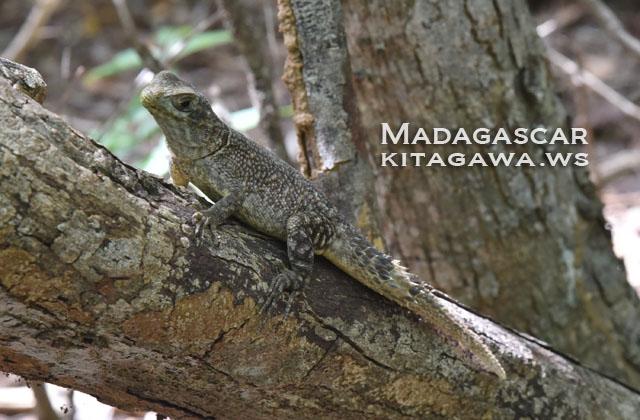スパイニーテイルドリザード Spiny-tailed Lizard