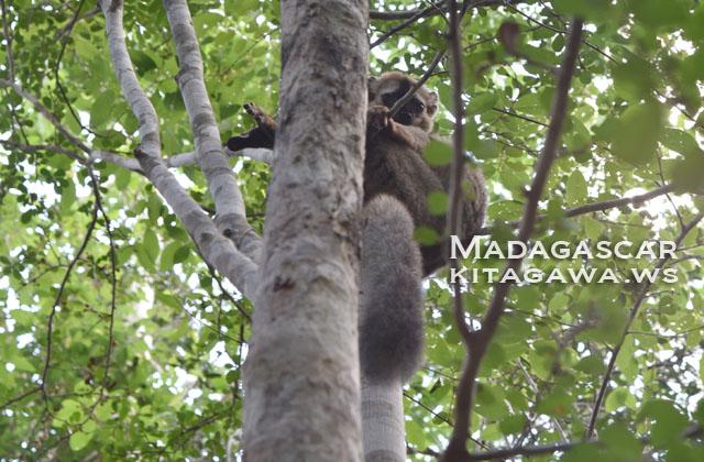キリンディ森林保護区 キツネザルとベローシファカ