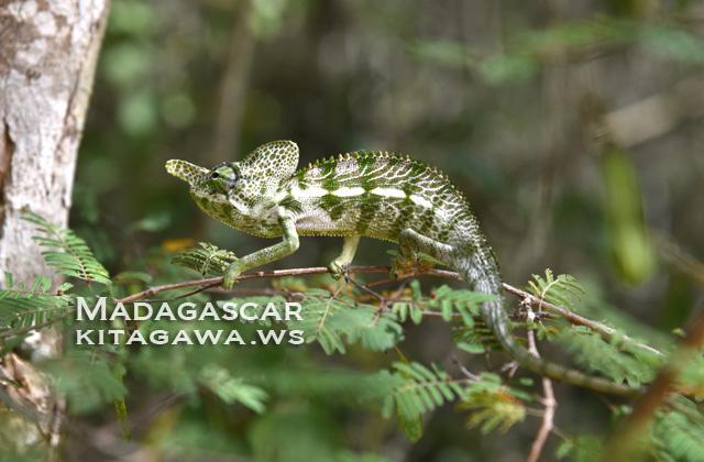 ラボードカメレオン Labord's Chameleon