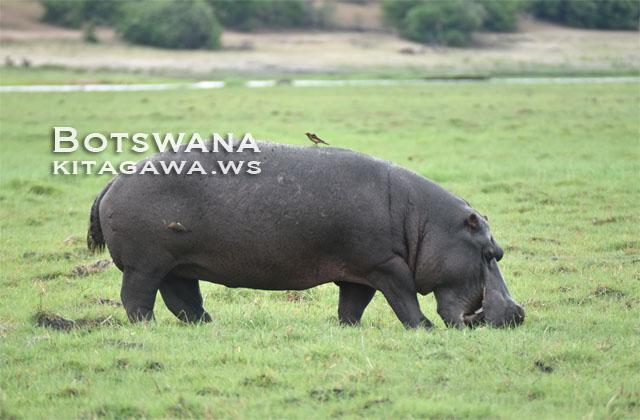 カバ チョベ国立公園 ボツワナ