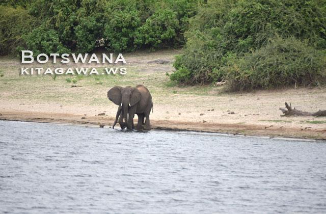 アフリカゾウ ボツワナ