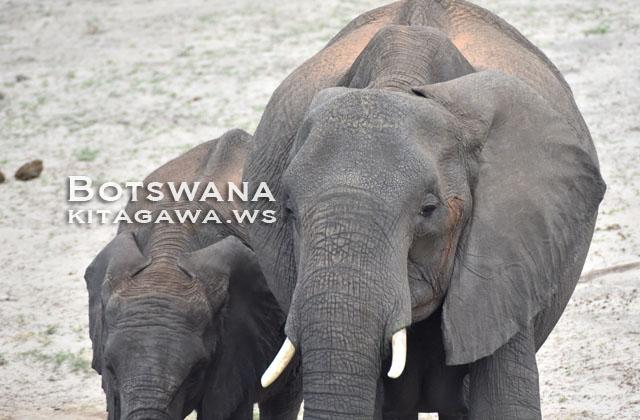 アフリカゾウ African Bush Elephant
