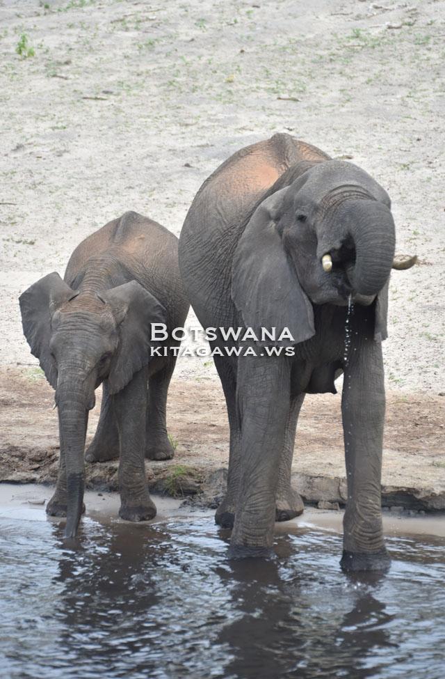 アフリカゾウ チョベ国立公園 ボツワナ