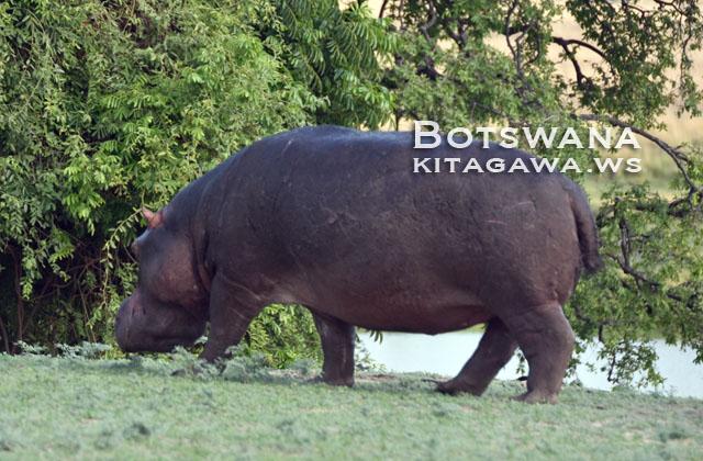 ボツワナ旅行記 チョベ国立公園ゲームドライブ