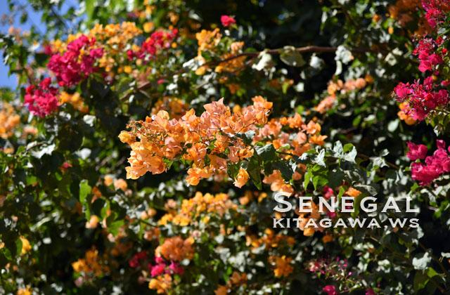 セネガル 花