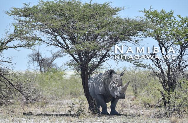 サイ ナミビア エトーシャ国立公園